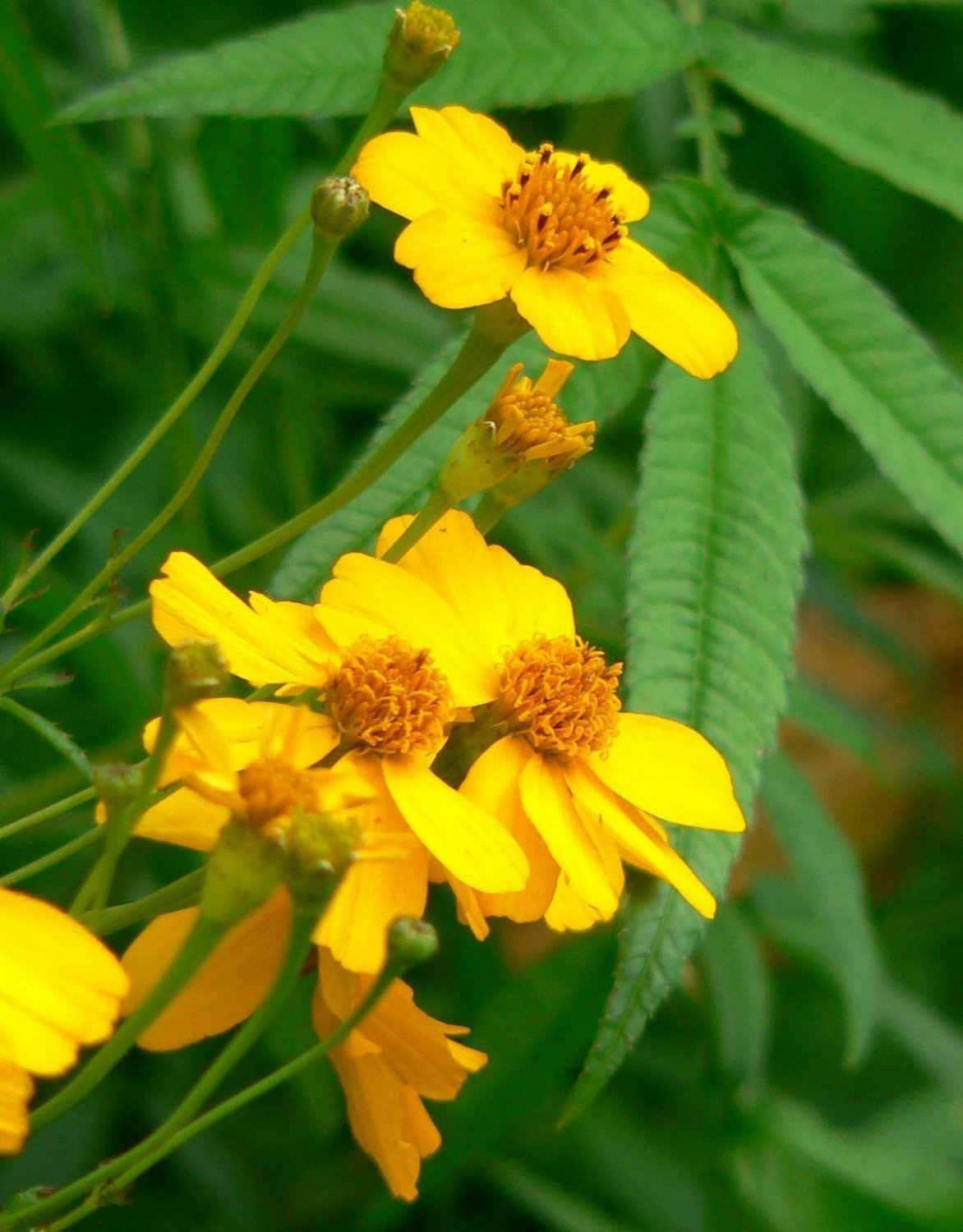 Guarantee marigold MEXICAN MINT herb spice 75 seeds   *