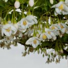 Guarantee snowbell JAPANESE small flowering tree white flower 18 seeds