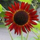 Guarantee sunflower RED SUN flower 50 seeds