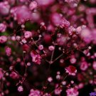 Guarantee babys breath DEEP PINK carmine RED annual BABY'S BREATH 810 seeds