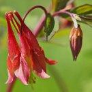 Guarantee columbine WILD RED CANADIAN perennial flower 55 SEEDS *