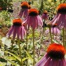 Guarantee coneflower PURPLE flower echinacea 75 seeds