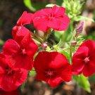 Guarantee phlox DRUMMOND RED flower 720 SEEDS