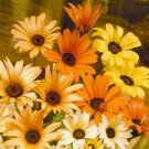 Guarantee daisy AFRICAN LIKES SUN AND HEAT orange and yellow flowers 195 seeds