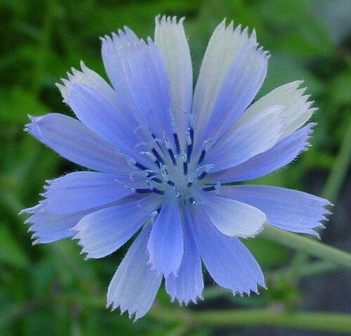 Guarantee chicory BLUE BEAUTY flower COFFEE SUBST 1000 seeds