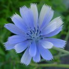 Guarantee chicory BLUE BEAUTY flower COFFEE SUBST 1000 seeds