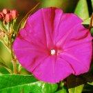 Guarantee morning glory SCARLET O'HARA deep pink flower vine 65 seeds
