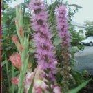 Guarantee liatris spicata BLAZING STARS Purple Flower 50 seeds