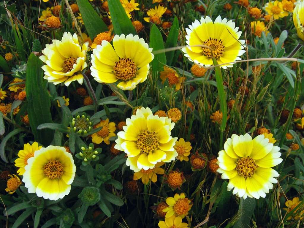 Guarantee tidy tips DROUGHT TOLERANT yellow flower 360 SEEDS