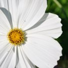 Guarantee cosmos WHITE PSYCHO annual flower 240 seeds
