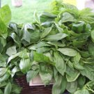 Guarantee basil LICORICE RARE SCENTED BASIL 150 seeds