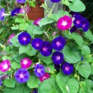 Guarantee morning glory mix red/ blue flowers 20 SEEDS