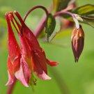 Guarantee columbine WILD RED CANADIAN perennial flower 20 SEEDS *