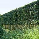 Guarantee maple HEDGE MAPLE TREE living fence 8 SEEDS