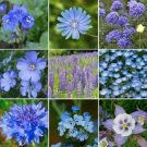 Guarantee 500 Seeds Seeds SINGIN' THE BLUESEXCLIVE BLUE WILDFLOWER MIX 9 Species