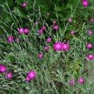 Guarantee Lychnis Coronaria 100 Seeds