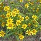 Guarantee Marigold Bur Bidens Aurea 50 Seeds