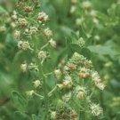 Guarantee Mignonette Ameliorata Reseda Odorata 100 seeds