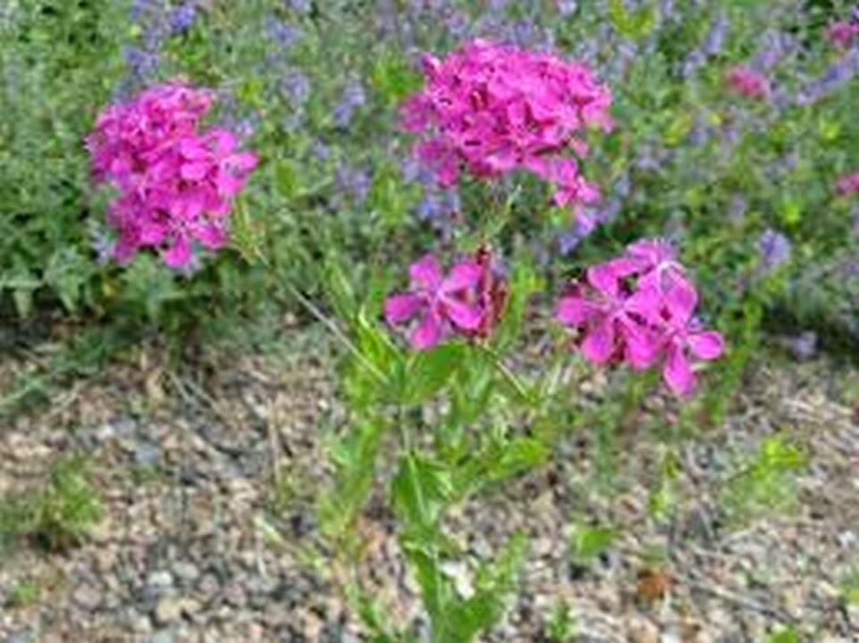 Guarantee Lychnis Alpina 50 Seeds