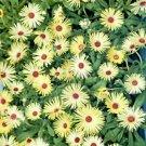 Guarantee Ice Plant Livingston Daisy Yellow 100 Seeds