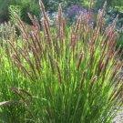 Guarantee Melica Red Spire (Altissima) 25 Seeds