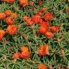 Guarantee Moss Rose Portulaca Orange 200 Seeds