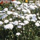 Guarantee Crepis White 50 Seeds