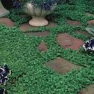 Guarantee Dichondra Repens 200 Seeds