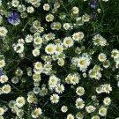 Guarantee Creeping Daisy 200 Seeds
