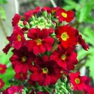 Guarantee PrimroseFairy Primula Malacoides Crimson 50 Seeds