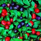 Guarantee Ornamental Pepper (Capsicum Annuum Fili )  50 Seeds