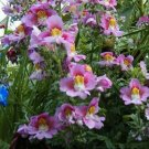 Guarantee Butterfly Flower Angel WingsSchizanth  Mix 100 Seeds