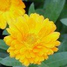 Guarantee Calendula Pot Marigold Yellow 50 Seeds