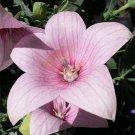 Guarantee Balloon flower Platycodon Grandiflor Rose/Pink 25 Seeds   BOGO 50% off S