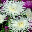 Guarantee Aster Callisteph Tall Needle Unicom  White 50 Seeds