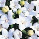Guarantee Balloon flower Platycodon Grandiflor White 25 Seeds