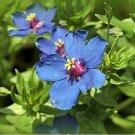 Guarantee Blue Pimpernel 200 Seeds