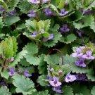 Guarantee Ground Ivy (Glechoma Hederacea) 25 Seeds