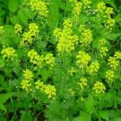 Guarantee Mtard Black (Brassica Nigra) 100 Seeds