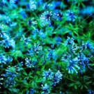 Guarantee Blue Woodruff (Asperula Orientallis) 25 Seeds
