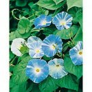 Guarantee Morning Glory Flying Saucers 15 seeds BOGO 50 % sale