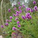 Guarantee Clover Prairie Purple 500 Seeds
