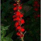 Guarantee Cardinal Flower 50 Seeds