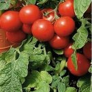 Guarantee Tomato Large Cherry Red 50 Seeds
