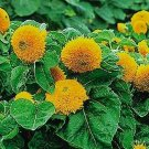 Guarantee Sunflower Teddy Bear 100 Seeds