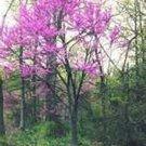 Guarantee Redbud Tree Eatern 20 Seeds