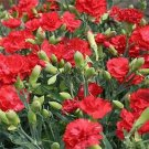 Guarantee Carnation Grenadin Scarlet 50 Seeds