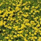 Guarantee Dahlberg Daisy thymophylla  200 seeds