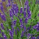 Guarantee Lavender English Herb 200 Seeds