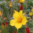 Guarantee Lindley's Blazing Star (Mentzelia) 100 Seeds